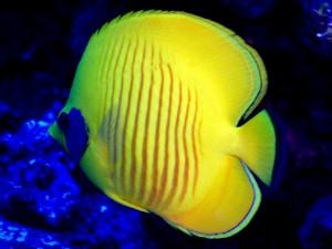 Papillon jaune masqué - Chaetodon semilarvatus